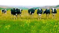 معلومات عن حيوان البقرة