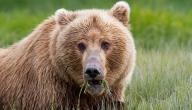 أشهر أنواع الدببة في العالم