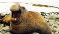 معلومات عن فيل البحر