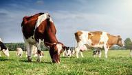 كم تعيش البقرة