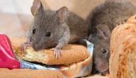 كيفية مكافحة الفئران في المنزل