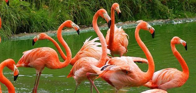 ما هو سر لون طائر الفلامينغو؟