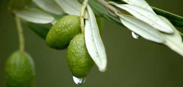 الفوائد الصحية لأوراق شجر الزيتون