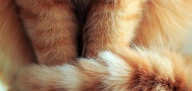 على ماذا تدل حركات ذيول القطط؟!