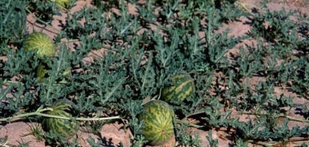 ما هي فوائد نبات الحنظل