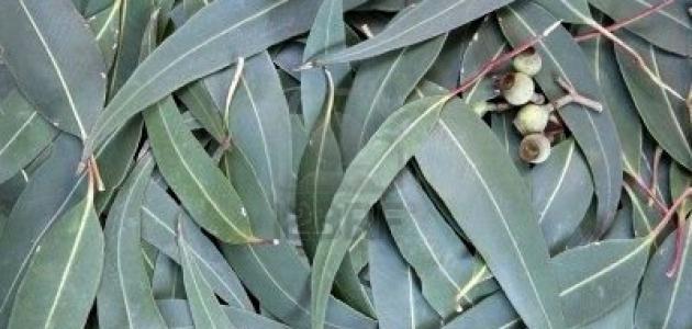 فوائد صحية يجهلها الكثير عن شجرة الكينا