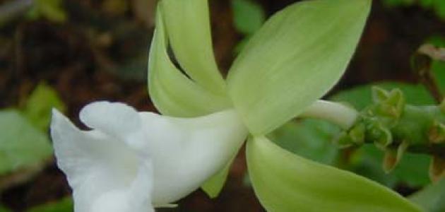 فوائد نبات الفانيليا