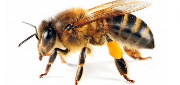 تأثير لسعات مختلف أنواع الحشرات