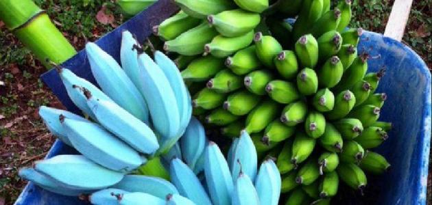 الموز الأزرق مفاجأة لم يتوقعها العلماء