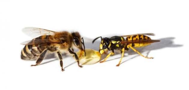 الفرق بين النحلة و الدبور