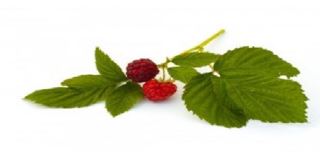 ما هي الفوائد الصحية لشاي أوراق التوت