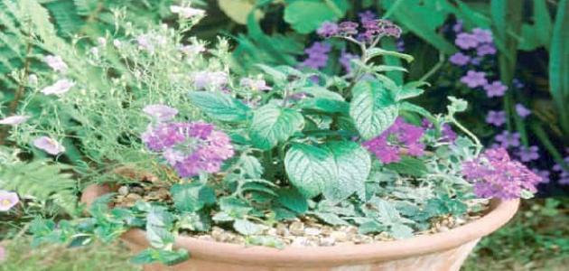 نباتات عطرية للمساحات الصغيرة