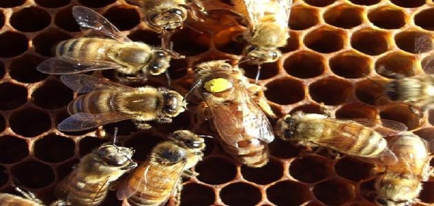 معلومات عن مملكة النحل