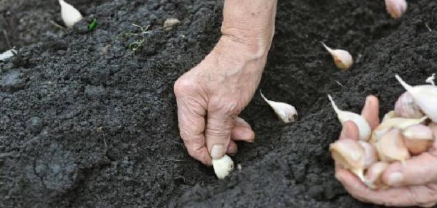 كيفية زراعة الثوم