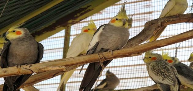 معلومات عن طيور الكوكتيل (طائر الكروان)