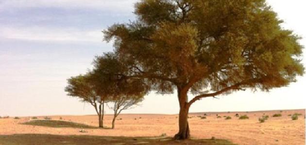 أشجار تتحمل العطش