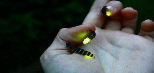 معلومات عن الحشرات المضيئة