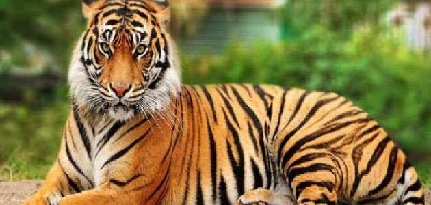 معلومات عن النمر البنغالي