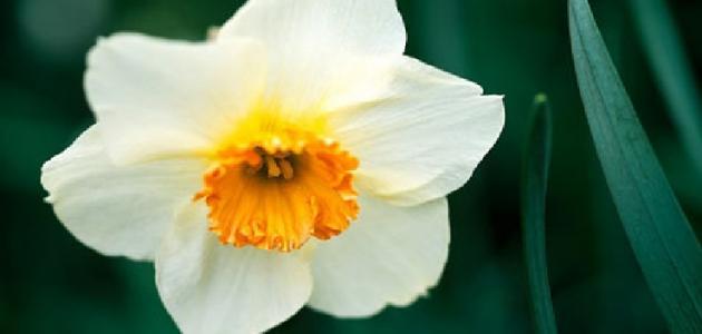 سبب تسمية زهرة النرجس بهذا الإسم