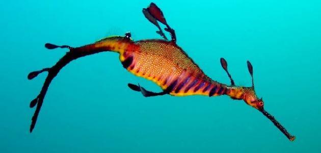 معلومات عن تنين البحر العشبي