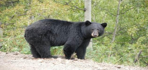 معلومات عن الدب الأسود