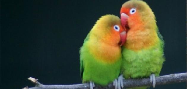 طيور الفيشر الفرق بين الذكر والأنثى