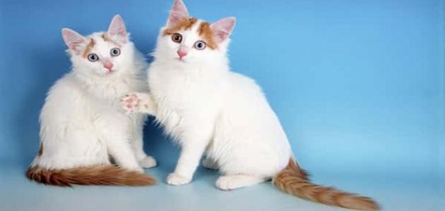معلومات عن قط الفان التركي