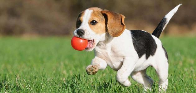 كيفية تدريب الكلاب الصغيرة