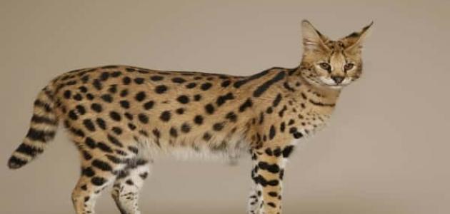 معلومات عن قط السافانا
