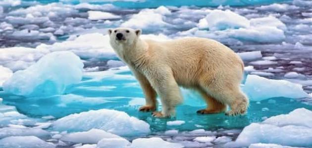 مظاهر تكيف الدب القطبي في المناطق الباردة