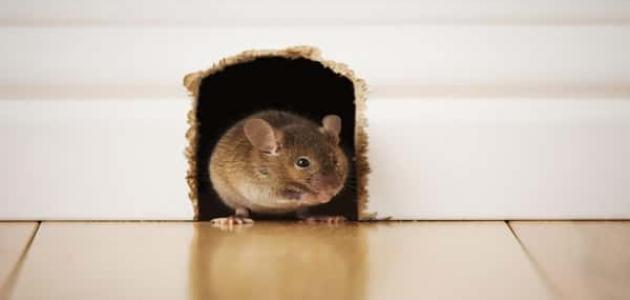 كيفية التخلص من الفئران بالأعشاب