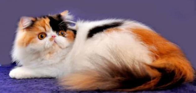 معلومات عن القطط الفارسية