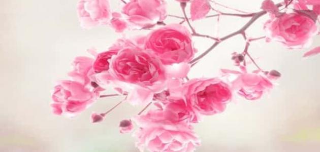 معاني الزهور المعروفة