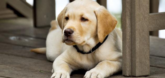 علاج الإسهال عند الكلاب