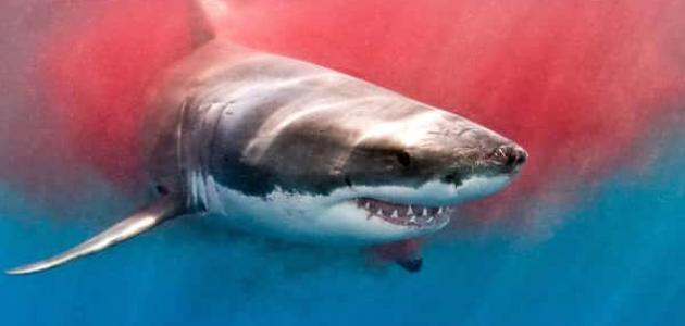 طريقة اصطياد سمك القرش