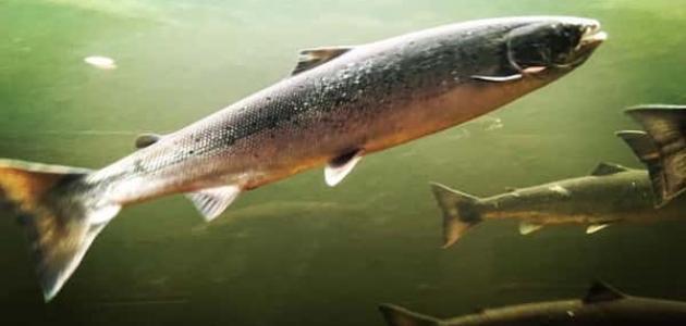 معلومات عن الأسماك العظمية