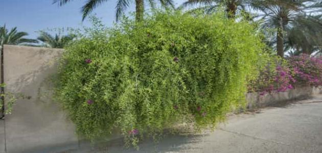 معلومات عن شجرة الآراك