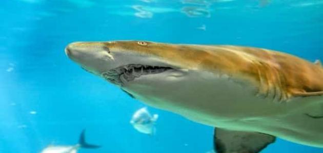 فوائد سمك القرش