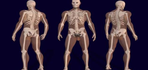 معلومات عن الهيكل العظمي