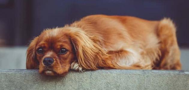 أمراض الكلاب وأعراضها
