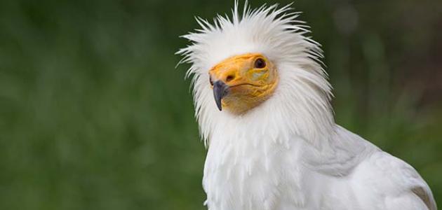 معلومات عن طائر الرخمة