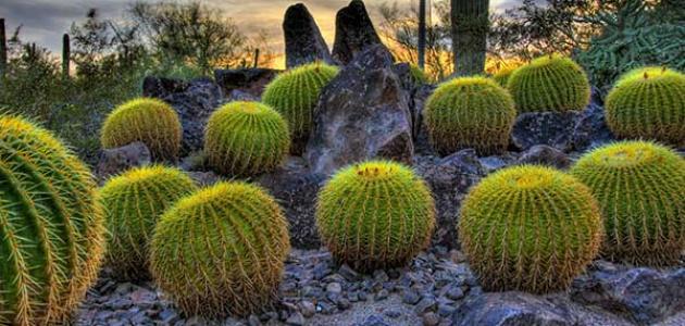 أهم النباتات الصحراوية