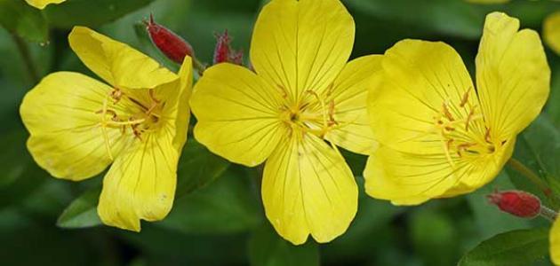 فوائد حبوب زهرة الربيع