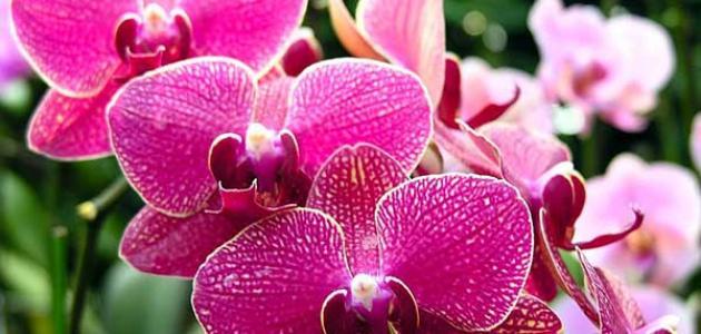 93e0e20645493 معنى زهرة الأوركيد - موسوعة وزي وزي