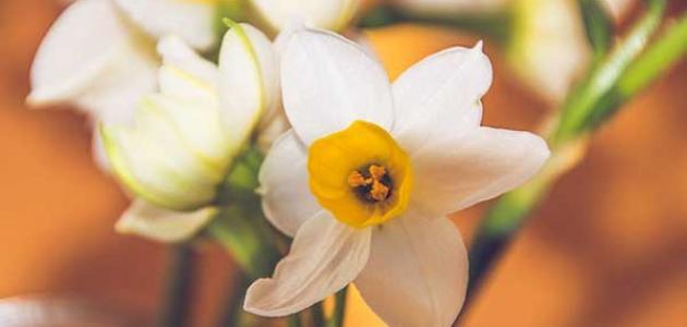 معلومات عن زهرة النرجس
