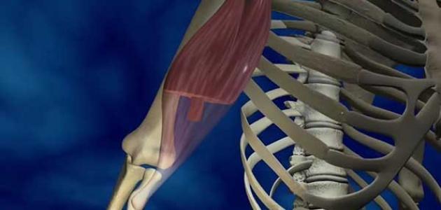 تركيب العضلة الهيكلية
