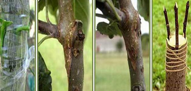 طرق تطعيم الأشجار