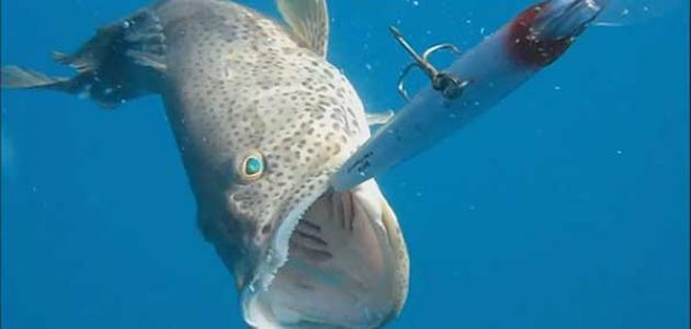 التكاثر عند سمك الهامور