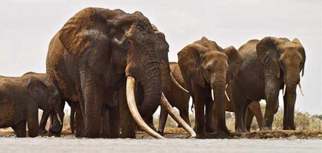 ما هو معدل عمر الفيل