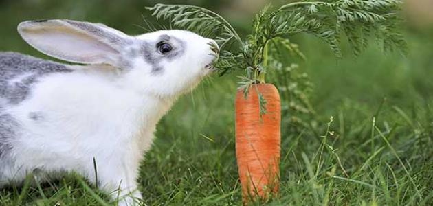 ماذا تأكل الأرانب